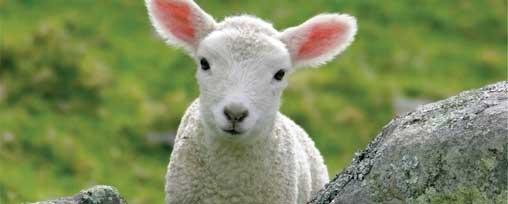 lambshow